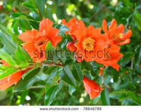 stock-photo-pomegranate-flowers-on-branch-78646789